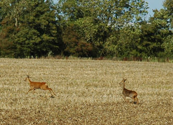 Picture of deer on a field