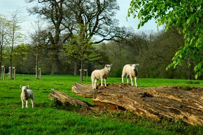 Picture of 3 lambs, 2 of them standing on a fallen tree