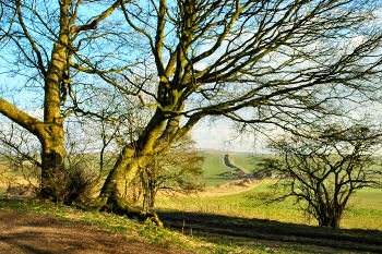 Picture of a tree with the Wansdyke in the background
